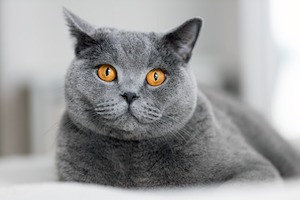 picture quiz guess the cat breeds