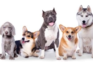 dog breeds picture quiz with answers